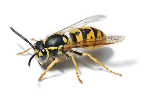 european_wasp